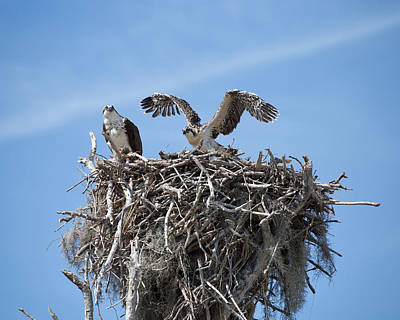 Photograph - Nesting Osprey by Rudy Umans