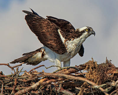 Photograph - Nesting by Robert Pilkington
