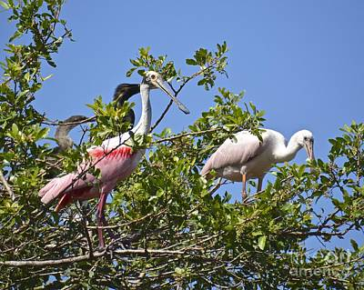 Photograph - Nesting Roseate Spoonbills by Carol  Bradley
