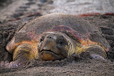 South Hutchinson Island Photograph - Nesting Sea Turtle  by Susan Pantuso