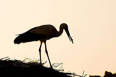 Photograph - Nesting Stork by Mick House