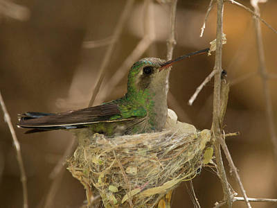 Photograph - Nesting  by Sue Cullumber