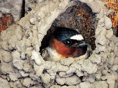 Nesting Swallow Art Print by Michele Penner