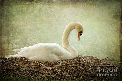 Photograph - Nesting Swan by Judy Wolinsky