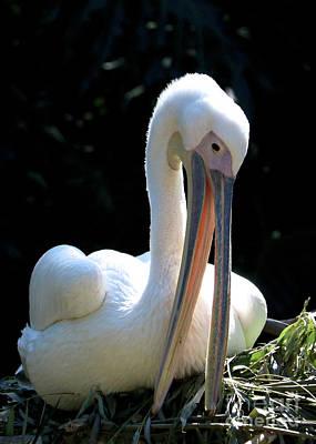 Photograph - Nesting White Pelican by Carol Groenen