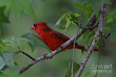 Cardinals. Wildlife. Nature Photograph - Nestled In The Trees by Deborah Benoit