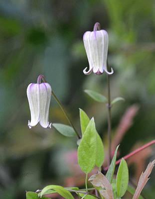 Photograph - Netleaf Leather-flower - Clematis Reticulata by rd Erickson