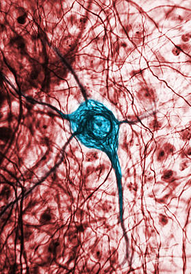 Neuron, Tem Art Print by Science Source
