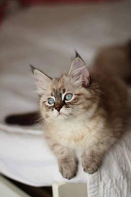 Photograph - Neva Masquerade Cute Kitten by Yana Shonbina