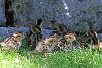 Photograph - Nevada Chicks by Donna Kennedy