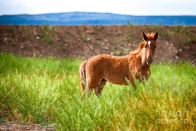 Photograph - Nevada Mustang Baby - Spring 2016 by Vinnie Oakes