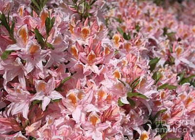 Peach-colored Photograph - Neverending Azaleas by Carol Groenen