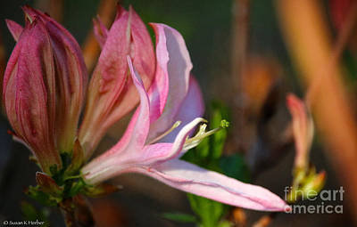 Photograph - New Azalea by Susan Herber