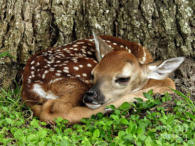 Photograph - New Born Fawn Forest Animals by Ella Kaye Dickey