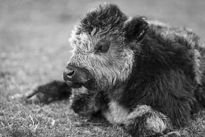 Photograph - New Calf by Amber Kresge