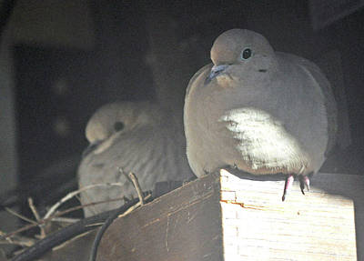 Photograph - New Crop Of Nesting Doves by Jay Milo