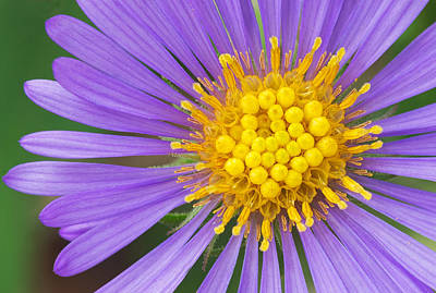 Photograph - New England Aster by Jim Zablotny
