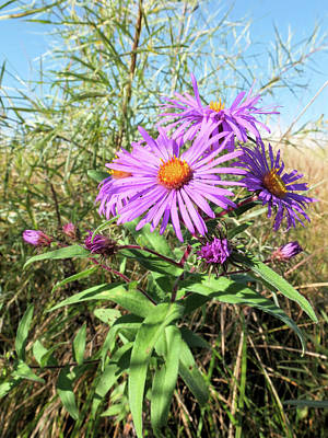 New England Aster Print by Scott Kingery