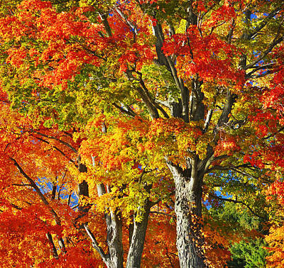 Photograph - New England Sugar Maples by Luke Moore