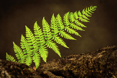 Photograph - New Fern - 365-77 by Inge Riis McDonald