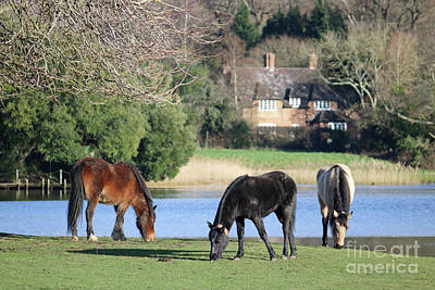 Photograph - New Forest Ponies At Bealieau Hampshire England Uk by Julia Gavin