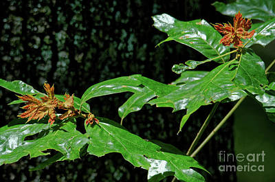 Photograph - New Growth Oak by Paul Mashburn