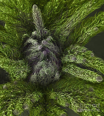 Photograph - New Growth On A Cannabis Plant by Ted Kinsman