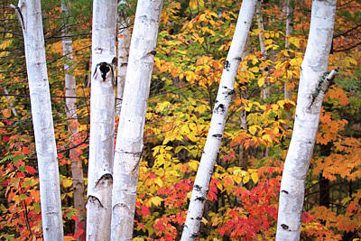 Photograph - New Hampshire Birch Trees by Eric Gendron