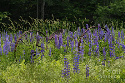 New Hampshire Lupines Art Print
