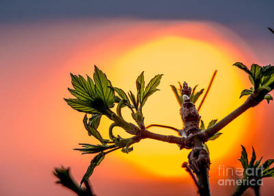 Photograph - New Leaf In Sunset by Cheryl Baxter