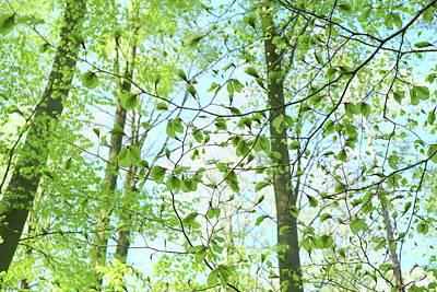 Photograph - New Leaves On Beech Trees In Spring Season by Martin Stankewitz