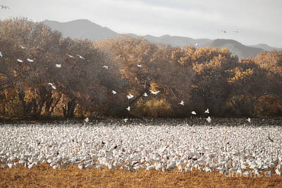 New Mexico Bosque Del Apache Snow Geese Landscape Art Print by Andrea Hazel Ihlefeld
