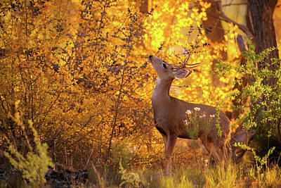 Photograph - New Mexico Buck Browsing by Jeff Phillippi