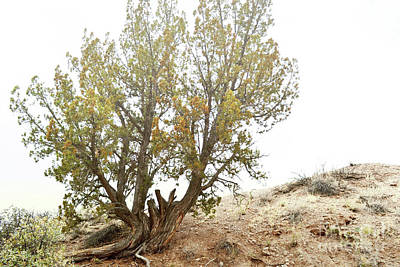 Art Print featuring the photograph New Mexico Desert Southwest Tree by Andrea Hazel Ihlefeld