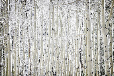 Photograph - New Mexico Gray Aspen Forest by Andrea Hazel Ihlefeld