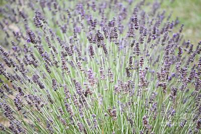Photograph - New Mexico Lavender Flowers Landscape by Andrea Hazel Ihlefeld