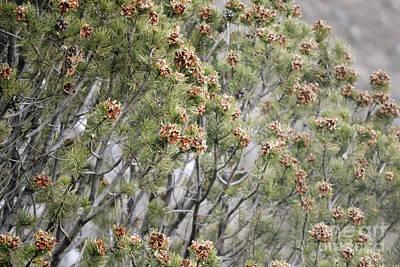 Photograph - New Mexico Pine Cone Tree by Andrea Hazel Ihlefeld