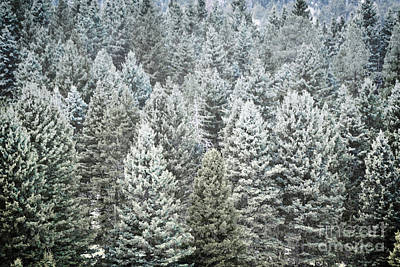 Photograph - New Mexico Pine Trees Snow Woodland by Andrea Hazel Ihlefeld