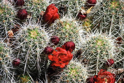 Photograph - New Mexico Red Flowers Cactus Landscape by Andrea Hazel Ihlefeld