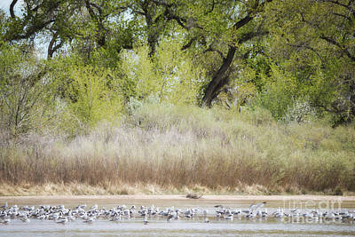 Photograph - New Mexico Rio Grande Snow Geese Woodland by Andrea Hazel Ihlefeld