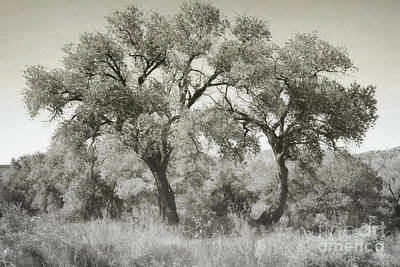 Photograph - New Mexico Rustic Cottonwood Trees by Andrea Hazel Ihlefeld