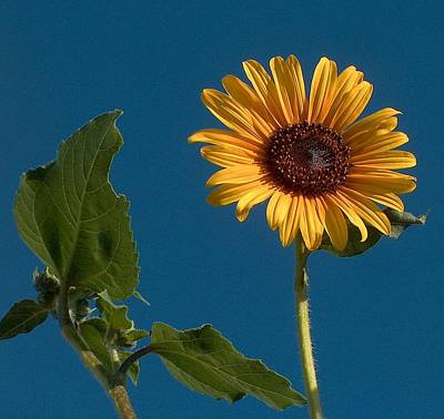 Clear Sky Drawing - New Mexico Sunflower by Tim McCarthy
