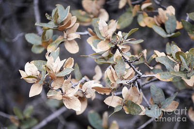 Photograph - New Mexico Tree Leaves by Andrea Hazel Ihlefeld