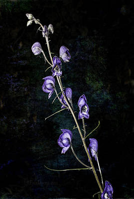 Photograph - New Monkshood by Fred Denner