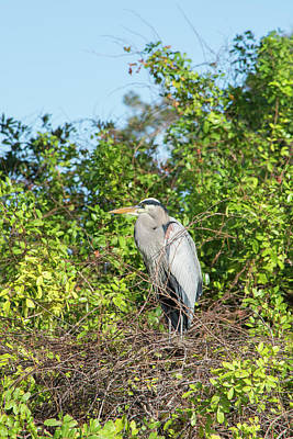 Photograph - New Nest For Great Blue Heron by William Tasker