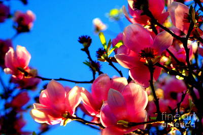 Photograph - New Orleans In The Dead Of Winter Spring Japanese Magnolias Bloom by Michael Hoard