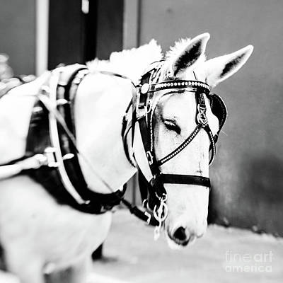 Photograph - New Orleans Carriage Mule by Scott Pellegrin