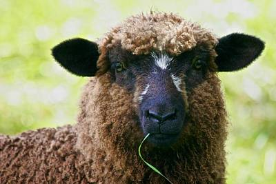Photograph - New Pond Farm Brown Sheep With Blade Of Grass by Polly Castor