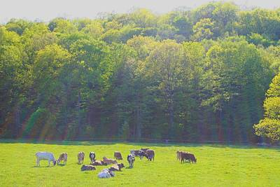 Photograph - New Pond Farm Dairy Cows by Polly Castor