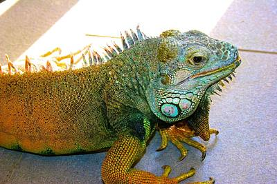 Photograph - New Pond Farm Iguana by Polly Castor